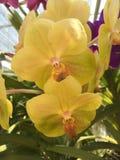 Mooie orchidee op groene achtergrond Stock Afbeelding