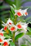 Mooie orchideebloem in de tuin Royalty-vrije Stock Afbeelding