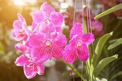 Mooie orchideebloem in de tuin bij de winter of de lentedag Royalty-vrije Stock Foto
