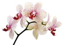 Mooie orchideebloemen Royalty-vrije Stock Afbeeldingen