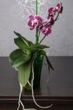 Mooie orchideephalaenopsis Royalty-vrije Stock Fotografie