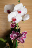 Mooie orchideephalaenopsis Royalty-vrije Stock Foto's