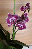 Mooie orchideephalaenopsis Royalty-vrije Stock Foto