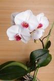 Mooie orchideephalaenopsis Royalty-vrije Stock Afbeelding