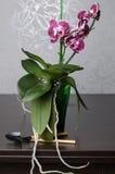 Mooie orchideephalaenopsis Royalty-vrije Stock Afbeeldingen