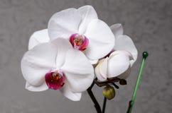 Mooie orchideephalaenopsis Stock Afbeeldingen