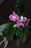 Mooie orchideephalaenopsis Stock Afbeelding