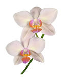 Mooie orchideephalaenopsis Stock Foto's