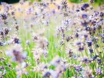 Mooie organische lavendelachtergrond op groene en violette tint Stock Afbeeldingen