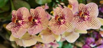Mooie orkids Royalty-vrije Stock Afbeeldingen