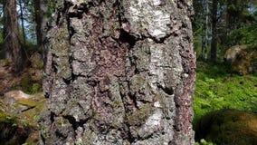 Mooie oude berkboom Mooie aardachtergronden stock videobeelden