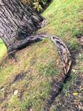 Mooie oude boom met wortel die grond naar voren komen Royalty-vrije Stock Afbeeldingen