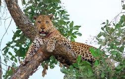 Mooie oude men eyed luipaard ontspande in een boom direct vooruit kijkend in het Nationale Park van Zuidenluangwa, Zambia royalty-vrije stock fotografie
