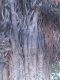 Mooie oude theeboomstam Stock Afbeelding