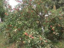 Mooie overvloedige rode appelen van september royalty-vrije stock afbeelding