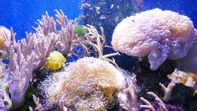 Mooie overzeese bloem in onderwaterwereld met koralen en vissen stock footage