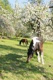 Mooie Paarden Royalty-vrije Stock Afbeeldingen