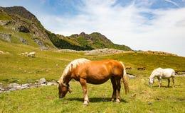 Mooie paarden die de alpiene weilanden weiden Royalty-vrije Stock Foto's