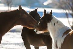 Mooie paarden die die op gebied weiden door sneeuw wordt behandeld Stock Fotografie