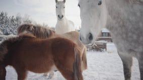 Mooie paarden en poney die op de de winterboerderij lopen Concept het paardfokken stock videobeelden
