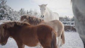 Mooie paarden en poney die zich bij de de winterboerderij bevinden Concept het paardfokken stock video