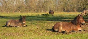 Mooie paarden op een gebied Stock Afbeeldingen