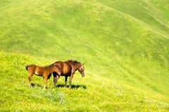 Mooie paarden op groen gras, in de bergen Stock Foto's