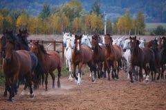 Mooie Paardengang in aard in de het plaatsen zon royalty-vrije stock foto's