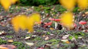 Mooie paddestoel in het bos stock video