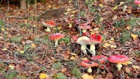 Mooie paddestoelen die onder de de herfstbladeren groeien stock videobeelden