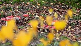 Mooie paddestoelen die onder de de herfstbladeren groeien stock footage