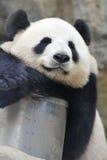 Mooie panda Stock Afbeelding