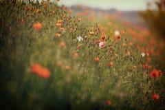 Mooie papaverbloemen Stock Afbeelding