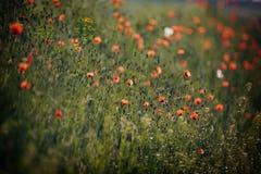 Mooie papaverbloemen Stock Afbeeldingen
