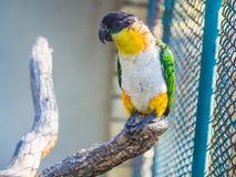 Mooie papegaai Royalty-vrije Stock Afbeeldingen