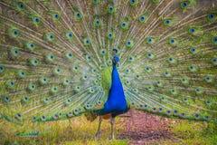 Mooie pauw met getoonde kleurrijke staart, de zomertijd Stock Fotografie
