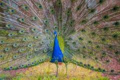 Mooie pauw met getoonde kleurrijke staart, de zomertijd Stock Afbeeldingen