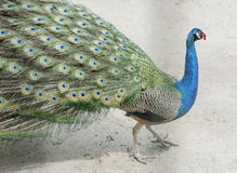 Mooie pauw in plastic glazen Royalty-vrije Stock Foto