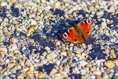 Mooie pauwvlinder Stock Foto's