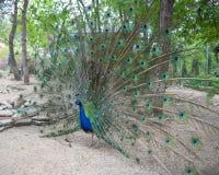 Mooie peafowl die zijn mooie staart tonen Stock Afbeeldingen