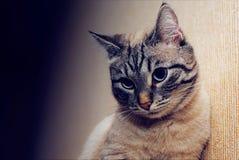 Mooie peinzend, bescheiden, ernstige kat ziet, close-up eruit royalty-vrije stock fotografie