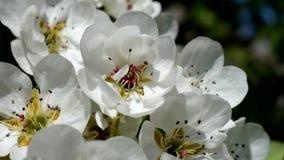 Mooie perenbloesem Perenboom in de vroege lente stock footage