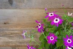 Mooie Pericallis Daisy Flower Bunch met Bladeren tegen Rustieke Bruin en Grey Wood Board Background met ruimte of ruimte voor exe royalty-vrije stock fotografie