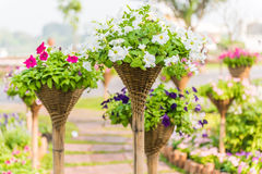 Mooie petuniabloemen Royalty-vrije Stock Afbeelding