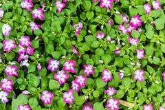 Mooie petuniabloemen Stock Fotografie