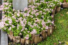 Mooie petuniabloemen Royalty-vrije Stock Foto