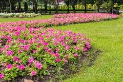 Mooie petuniabloemen Stock Afbeeldingen