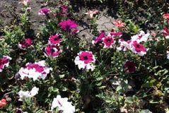 Mooie petuniabloemen Concept energie stock afbeeldingen