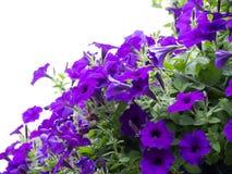 Mooie petuniabloemen in de tuin in de Lentetijd stock afbeelding
