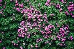 Mooie petuniabloemen in de tuin in de Lentetijd stock afbeeldingen
